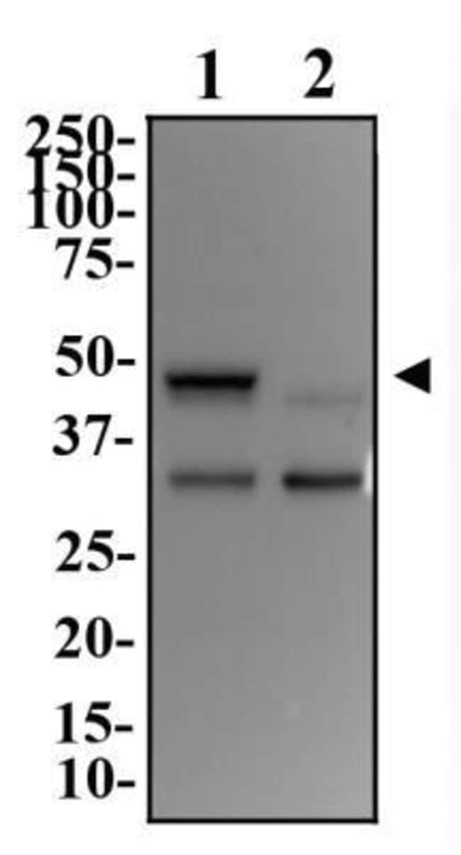 DEC1 Rabbit anti-Human, Mouse, Rat, Polyclonal, Novus Biologicals:Antibodies:Primary