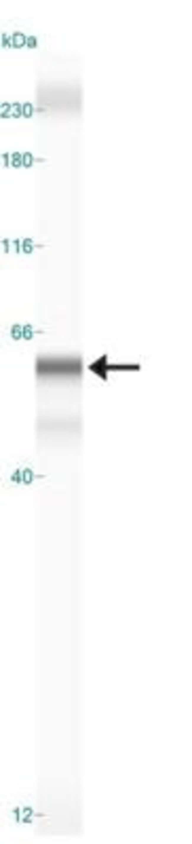 anti-DEC2/SHARP1, Polyclonal, Novus Biologicals:Antibodies:Primary Antibodies