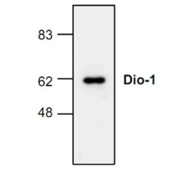 anti-DIDO1, Polyclonal, Novus Biologicals 0.1mg; Unlabeled:Life Sciences