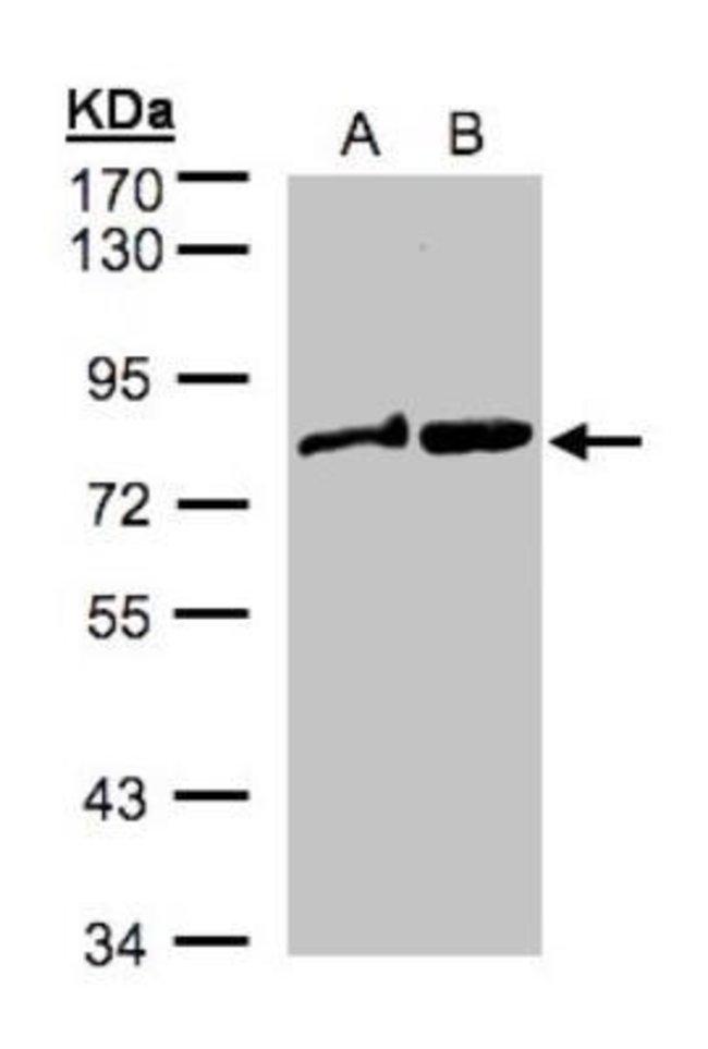 anti-Dishevelled-2, Polyclonal, Novus Biologicals 0.1mL; Unlabeled:Life