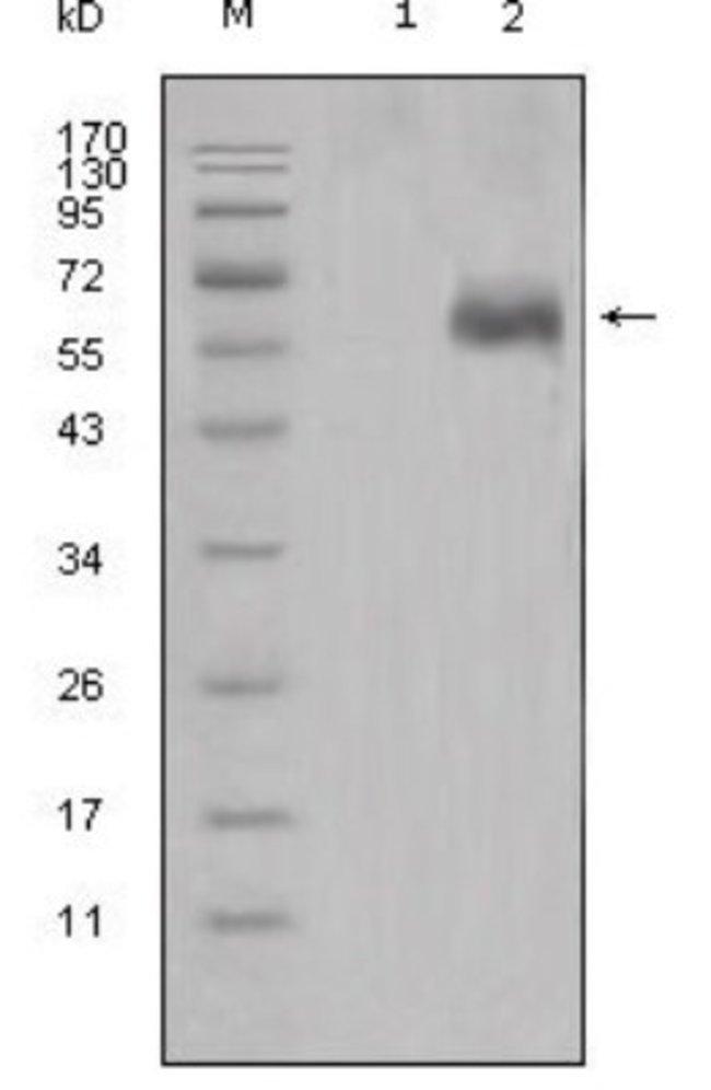 anti-Mouse Dkk-1, Clone: 2H2, Novus Biologicals 0.1mL; Unlabeled:Life Sciences