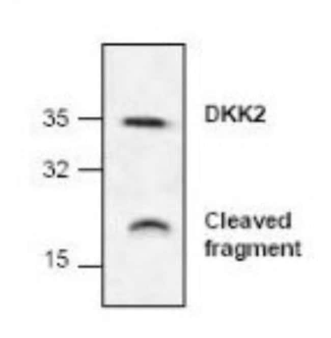 anti-Dkk-2, Polyclonal, Novus Biologicals 0.1mg; Unlabeled:Life Sciences