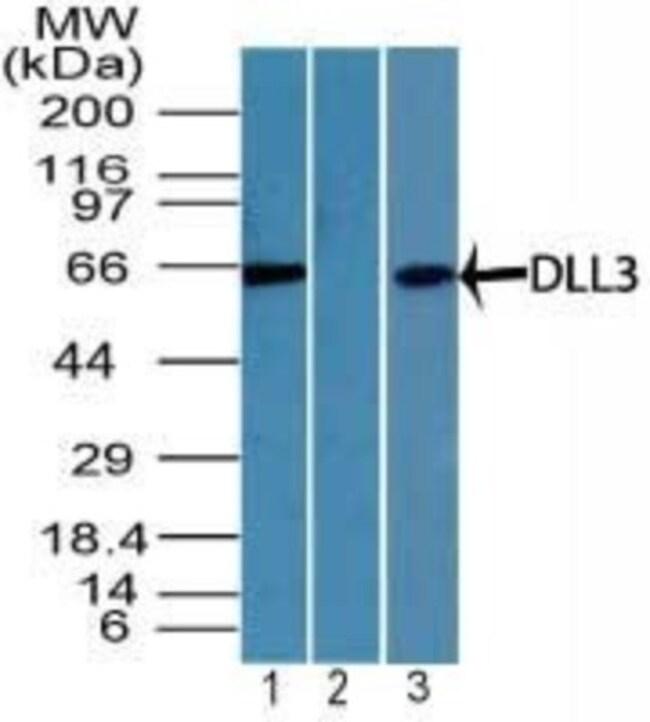 anti-DLL3, Polyclonal, Novus Biologicals:Antibodies:Primary Antibodies