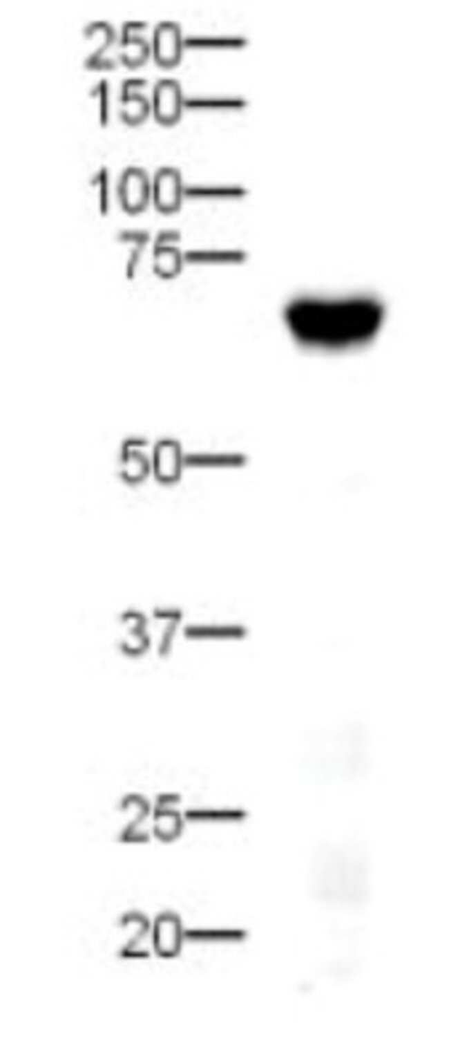 DLL4 Rabbit anti-Human, Polyclonal, Novus Biologicals:Antibodies:Primary