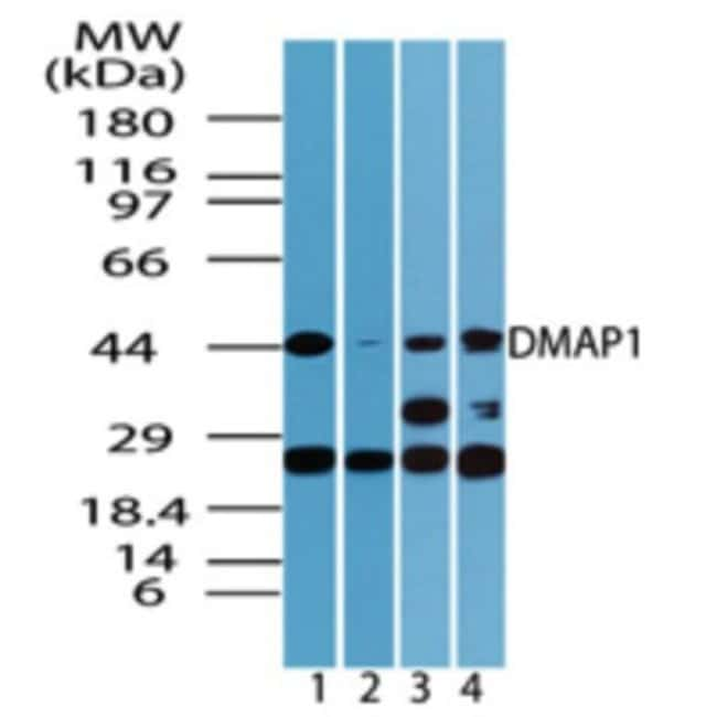 anti-DMAP1, Polyclonal, Novus Biologicals:Antibodies:Primary Antibodies