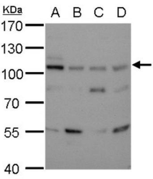 anti-Mouse DNA Ligase III, Clone: 1F3, Novus Biologicals 0.1mg; Unlabeled:Life