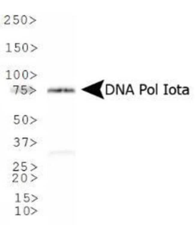 anti-DNA Polymerase iota, Polyclonal, Novus Biologicals:Antibodies:Primary