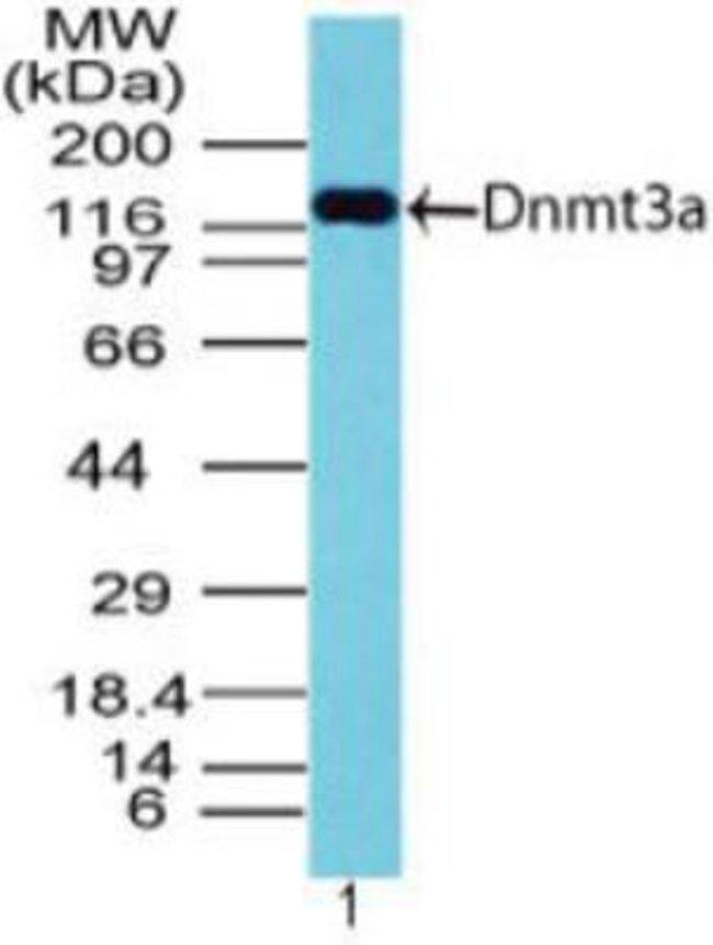 DNMT3A Rabbit anti-Human, Polyclonal, Novus Biologicals:Antibodies:Primary