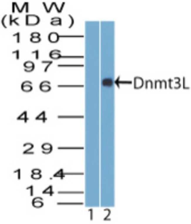 anti-Dnmt3L, Polyclonal, Novus Biologicals:Antibodies:Primary Antibodies