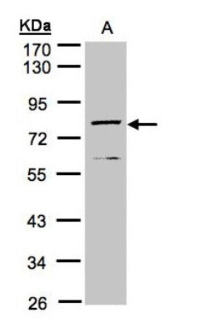 anti-DPP3, Polyclonal, Novus Biologicals 0.1mL; Unlabeled:Life Sciences