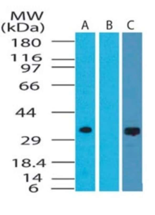 anti-DRAM, Polyclonal, Novus Biologicals:Antibodies:Primary Antibodies