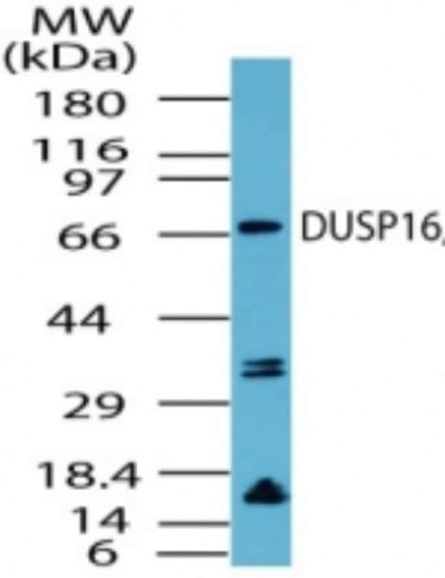 anti-DUSP16, Polyclonal, Novus Biologicals:Antibodies:Primary Antibodies