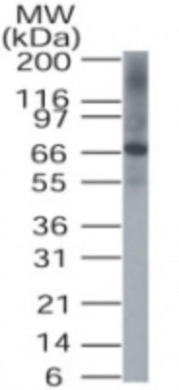 anti-DUSP8, Polyclonal, Novus Biologicals:Antibodies:Primary Antibodies
