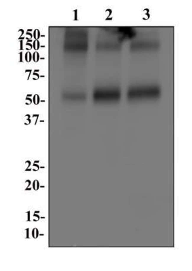 anti-EAAT1/GLAST-1/SLC1A3, Polyclonal, Novus Biologicals:Antibodies:Primary
