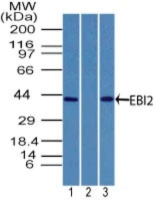 EBI2/GPR183 Rabbit anti-Human, Monkey, Primate, Polyclonal, Novus Biologicals:Antibodies:Primary