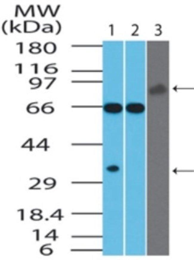 anti-IL-27/IL-35 EBI3 Subunit, Polyclonal, Novus Biologicals:Antibodies:Primary