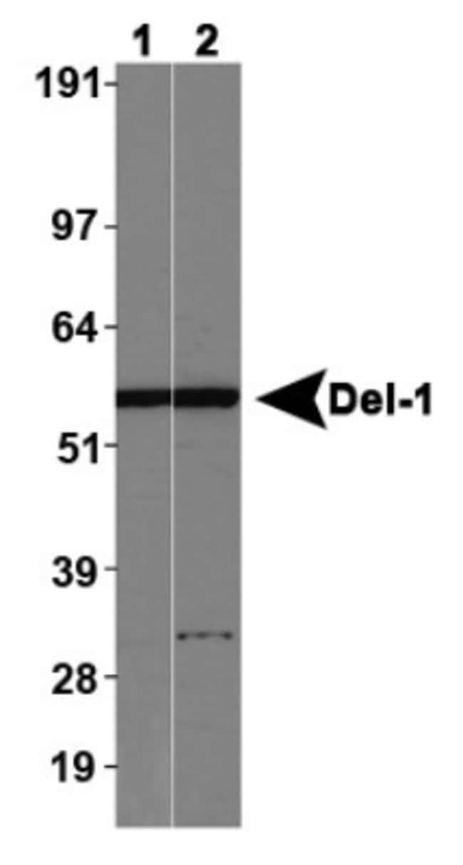 anti-EDIL3/DEL1, Polyclonal, Novus Biologicals 0.025mL; Unlabeled:Life