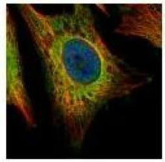 anti-EEA1, Polyclonal, Novus Biologicals 0.1mL; Unlabeled:Antibodies