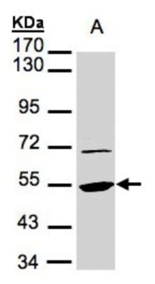 anti-eEF1A1, Polyclonal, Novus Biologicals 0.1mL; Unlabeled:Life Sciences