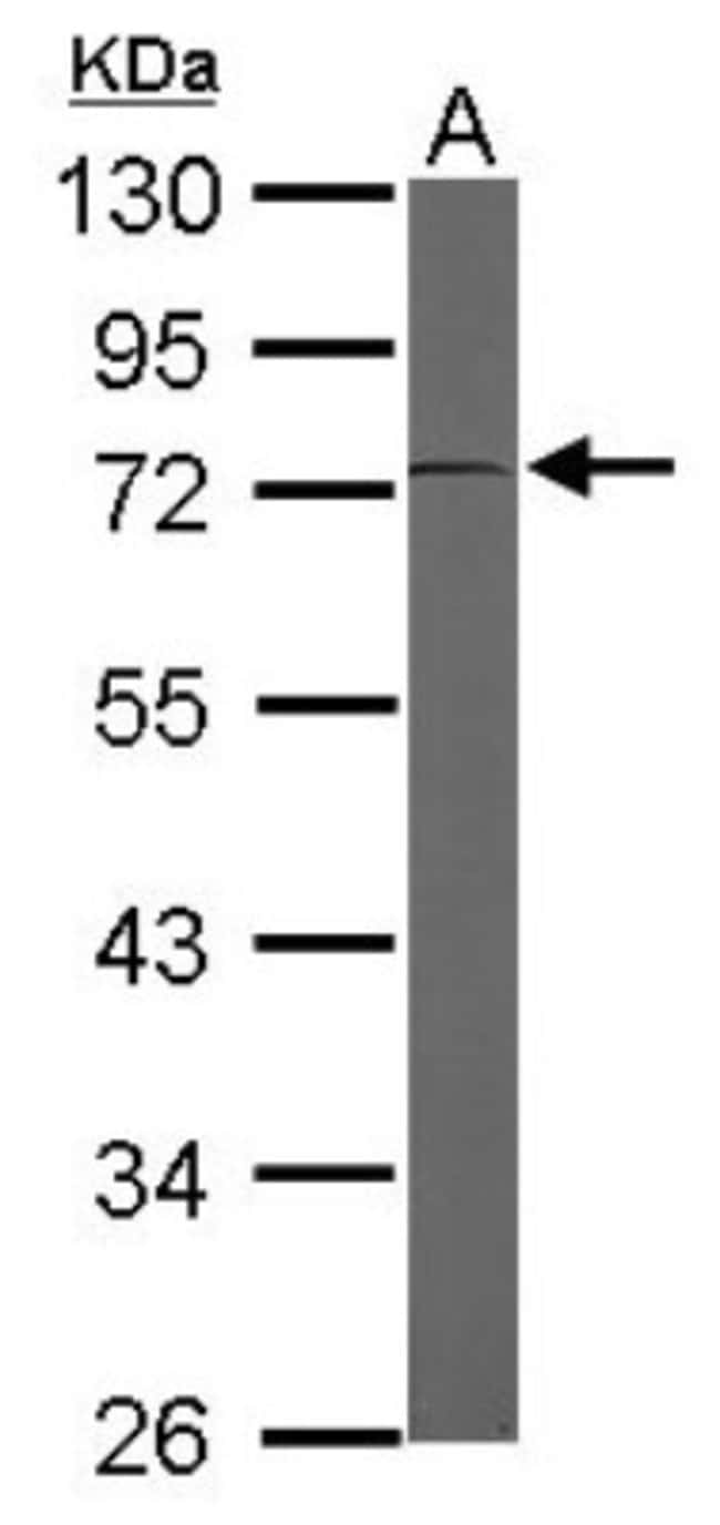 anti-EEF1D, Polyclonal, Novus Biologicals 0.1mL; Unlabeled:Antibodies