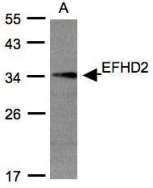 anti-EFHD2, Polyclonal, Novus Biologicals 0.1mL; Unlabeled:Life Sciences