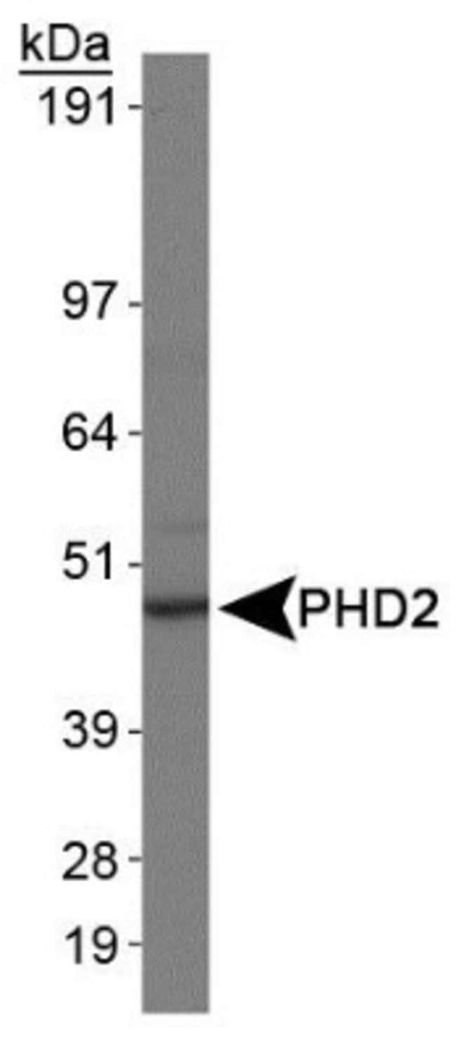 anti-EGLN1/PHD2, Clone: 366G/76/3, Novus Biologicals 0.025mL; Unlabeled:Life