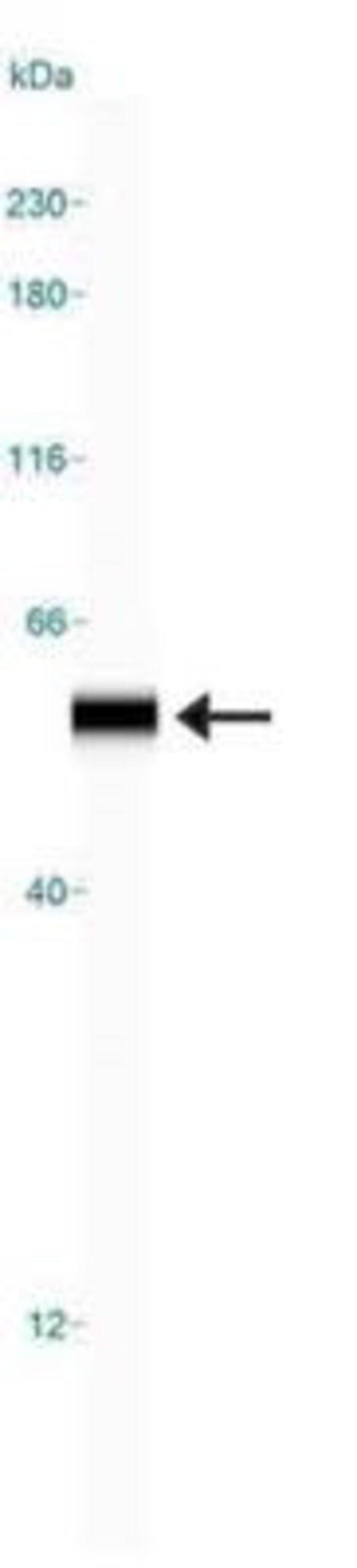 anti-EGLN1/PHD2, Polyclonal, Novus Biologicals:Antibodies:Primary Antibodies