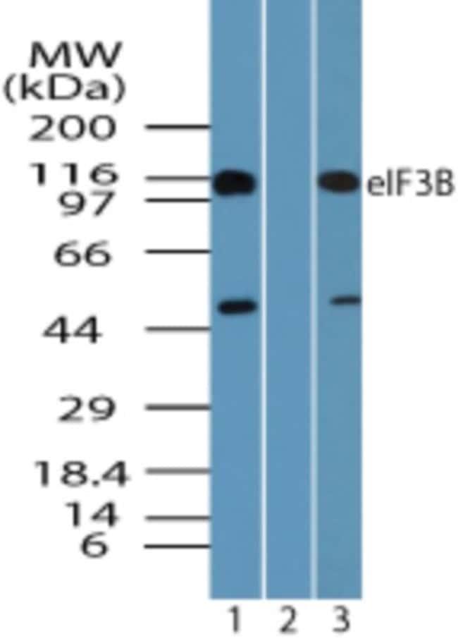 anti-EIF3B, Polyclonal, Novus Biologicals:Antibodies:Primary Antibodies