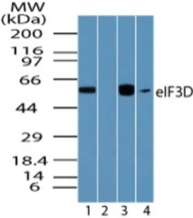 anti-EIF3D, Polyclonal, Novus Biologicals:Antibodies:Primary Antibodies