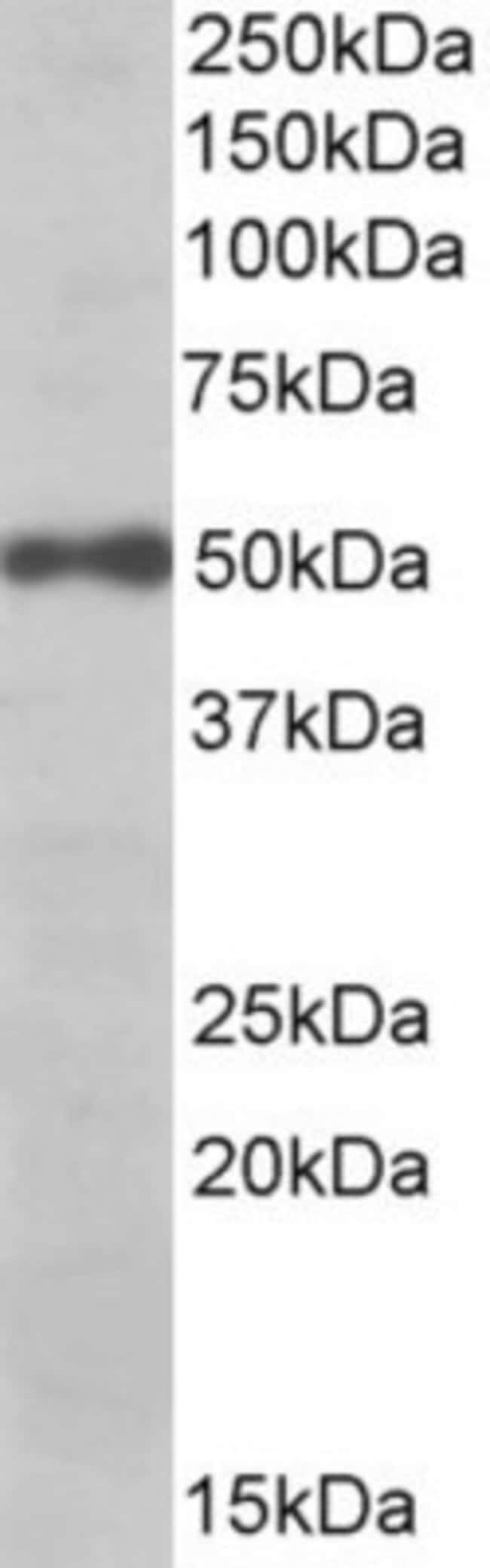 anti-eIF3e, Polyclonal, Novus Biologicals 0.1mg; Unlabeled:Life Sciences