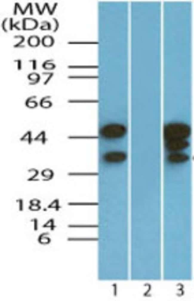 anti-EIF3G, Polyclonal, Novus Biologicals:Antibodies:Primary Antibodies