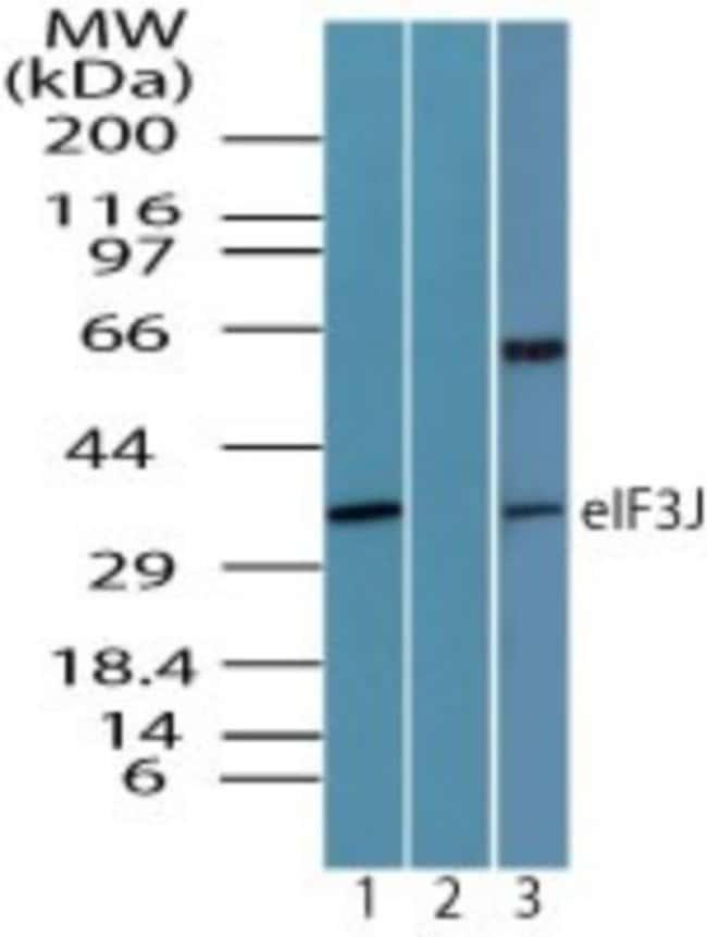 anti-EIF3J, Polyclonal, Novus Biologicals:Antibodies:Primary Antibodies