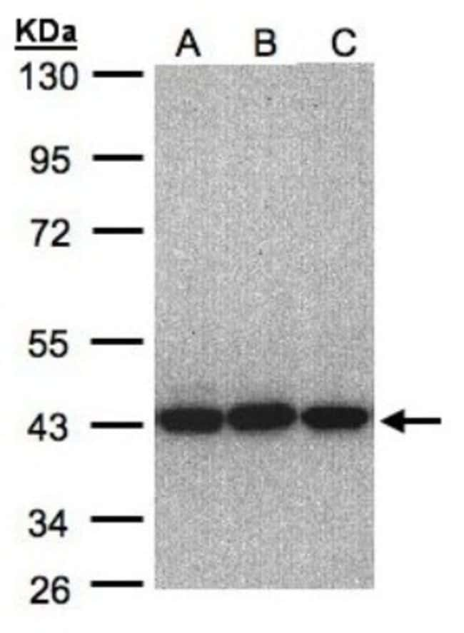 anti-EIF3S3, Polyclonal, Novus Biologicals 0.1mL; Unlabeled:Life Sciences