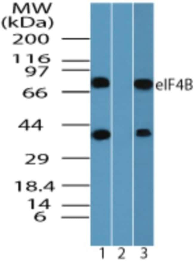anti-eIF4B, Polyclonal, Novus Biologicals:Antibodies:Primary Antibodies