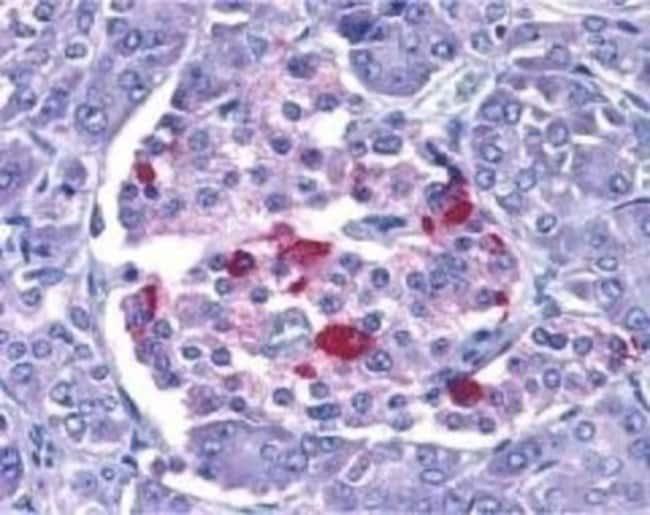 anti-Endo G, Polyclonal, Novus Biologicals 0.1mg; Unlabeled:Life Sciences