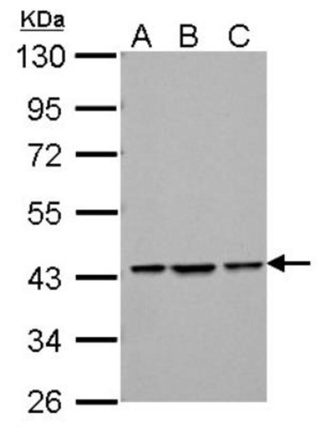 anti-Endophilin B1/Bif-1, Polyclonal, Novus Biologicals 0.1mL; Unlabeled:Life