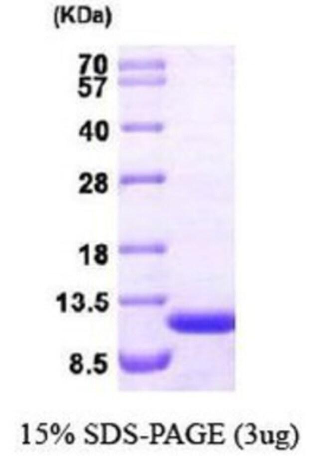 Novus BiologicalsHuman ERAF Protein 0.1mg; Unlabeled:Biochemical Reagents
