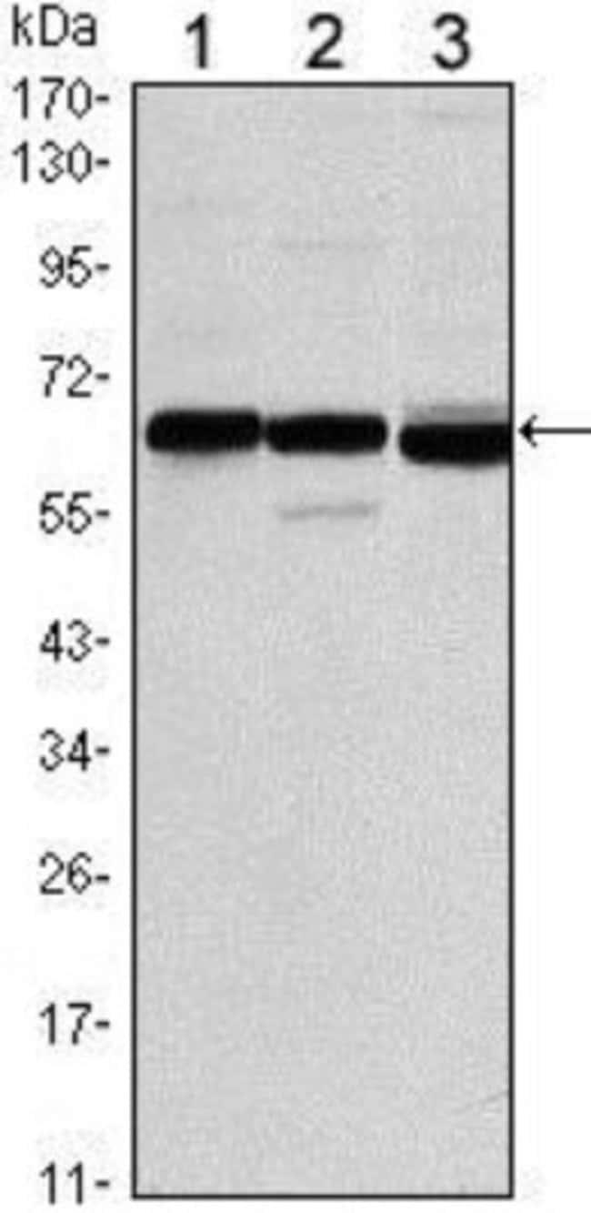 anti-ER alpha/NR3A1, Clone: 6B6, Novus Biologicals 0.1mL; Unlabeled:Life