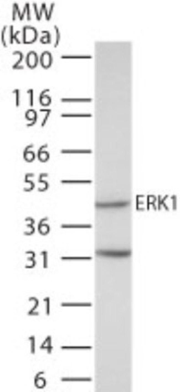 anti-ERK1, Polyclonal, Novus Biologicals:Antibodies:Primary Antibodies