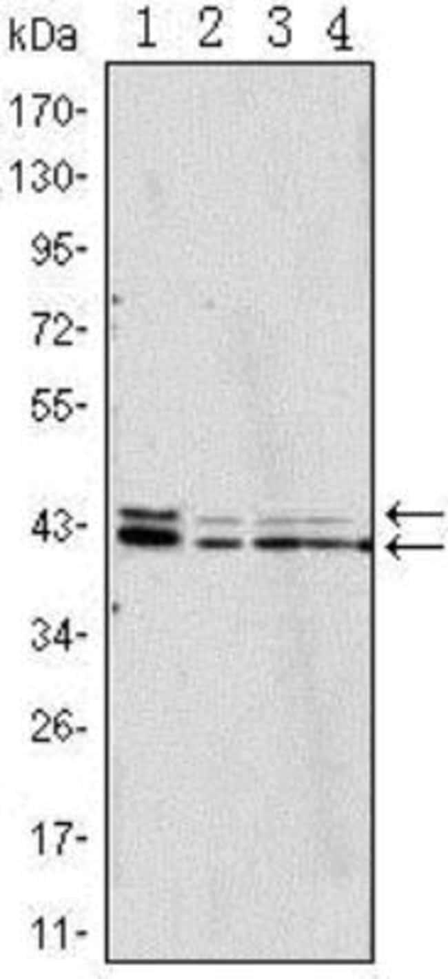 anti-ERK2, Clone: 3F8, Novus Biologicals 0.1mL; Unlabeled:Life Sciences