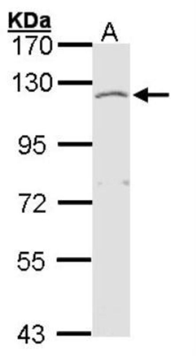 anti-Exostosin-like 3/EXTL3, Polyclonal, Novus Biologicals 0.1mL; Unlabeled:Antibodies
