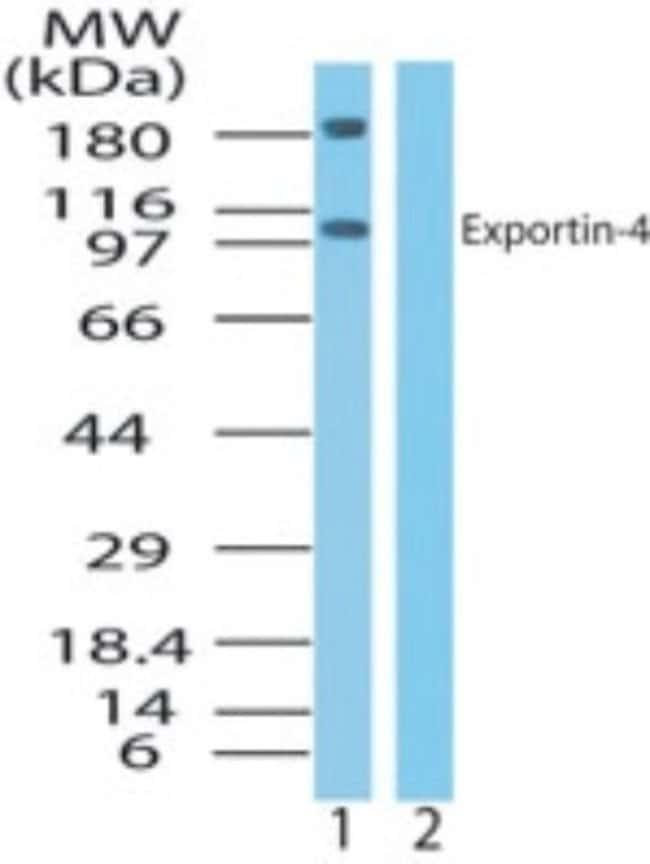 anti-Exportin 4, Polyclonal, Novus Biologicals:Antibodies:Primary Antibodies