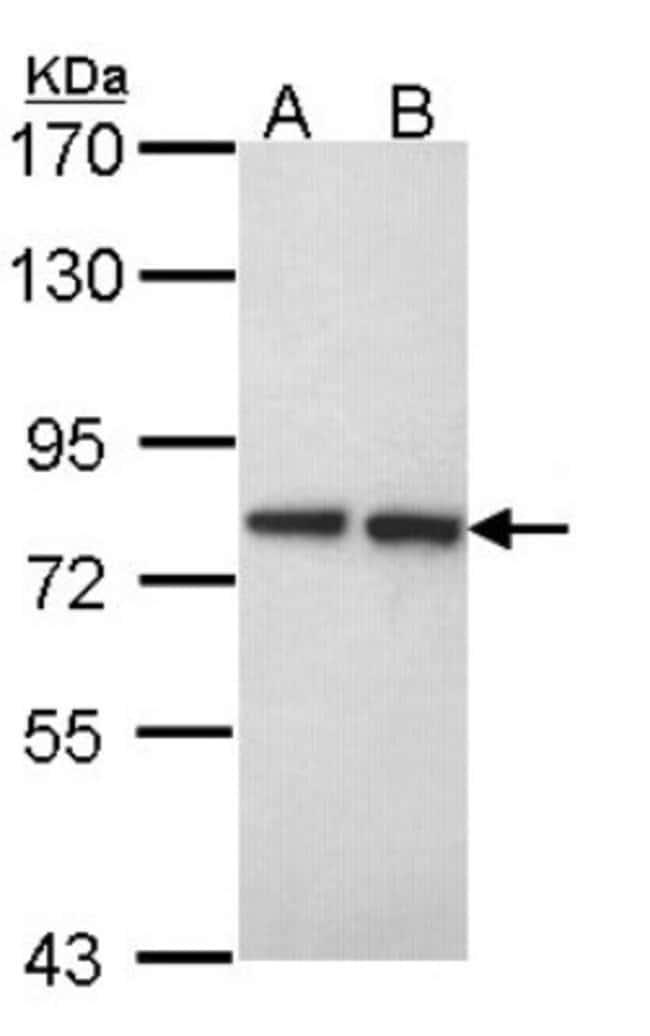 anti-Ext2, Polyclonal, Novus Biologicals 0.1mL; Unlabeled:Life Sciences
