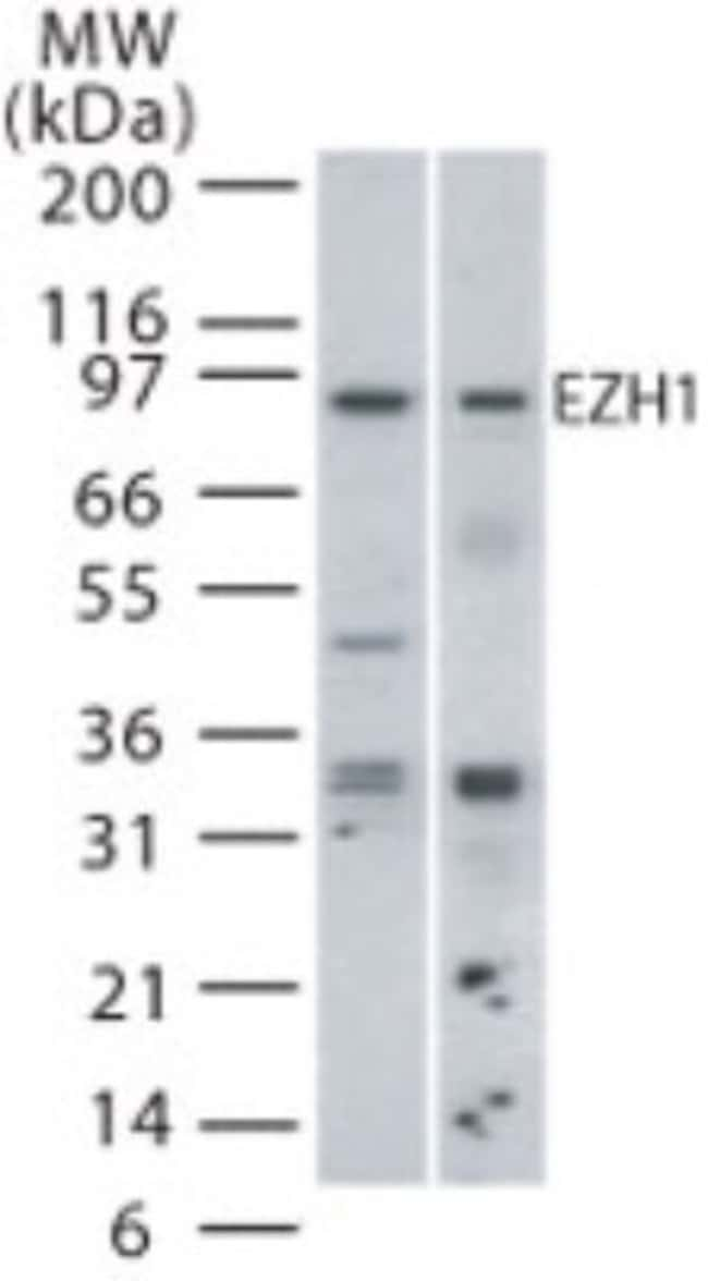 anti-EZH1, Polyclonal, Novus Biologicals:Antibodies:Primary Antibodies