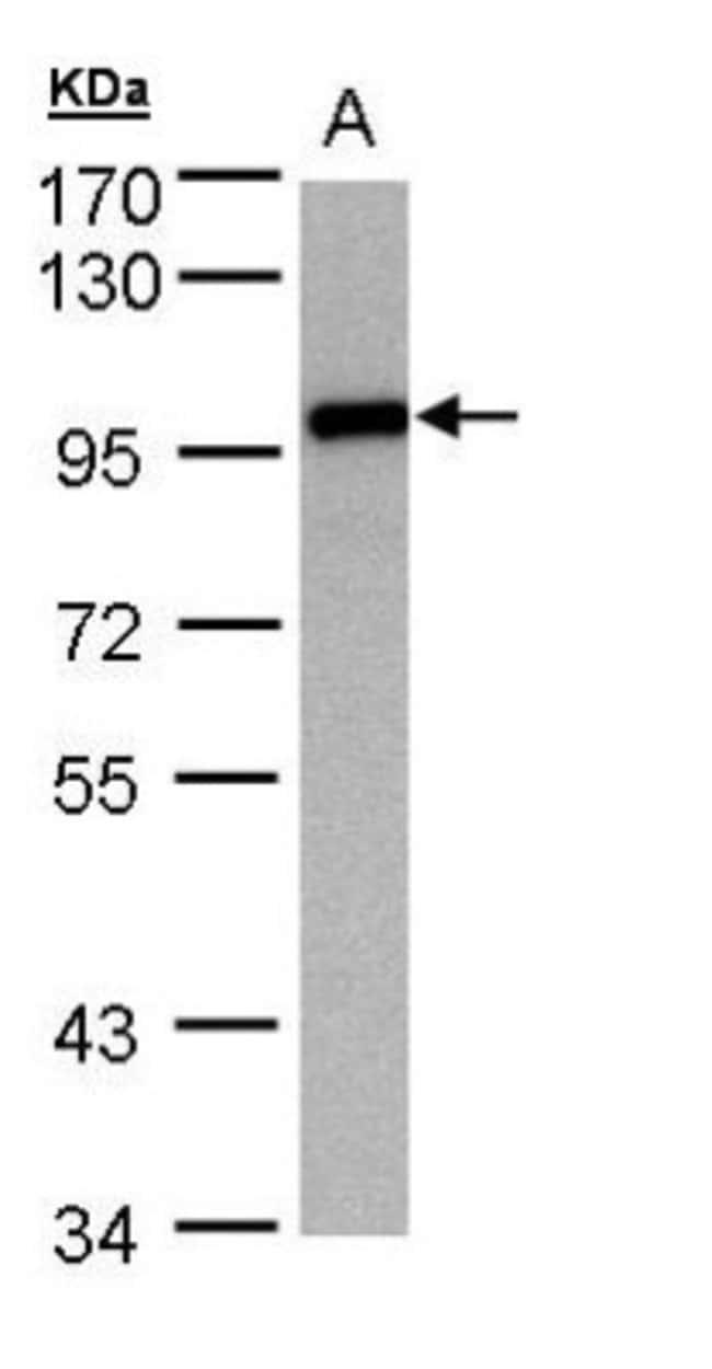 anti-EZH1, Polyclonal, Novus Biologicals 0.1mg; Unlabeled:Antibodies