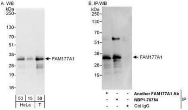 anti-FAM177A1, Polyclonal, Novus Biologicals 0.1mg; Unlabeled:Life Sciences