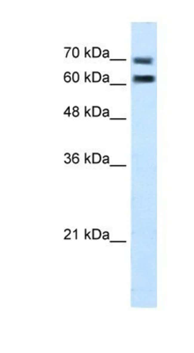 FAM55D Rabbit anti-Human, Polyclonal, Novus Biologicals 100µL; Unlabeled:Life