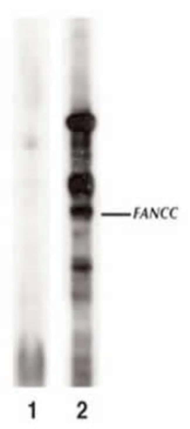 anti-FANCC, Polyclonal, Novus Biologicals:Antibodies:Primary Antibodies