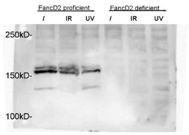 anti-FANCD2, Polyclonal, Novus Biologicals:Antibodies:Primary Antibodies