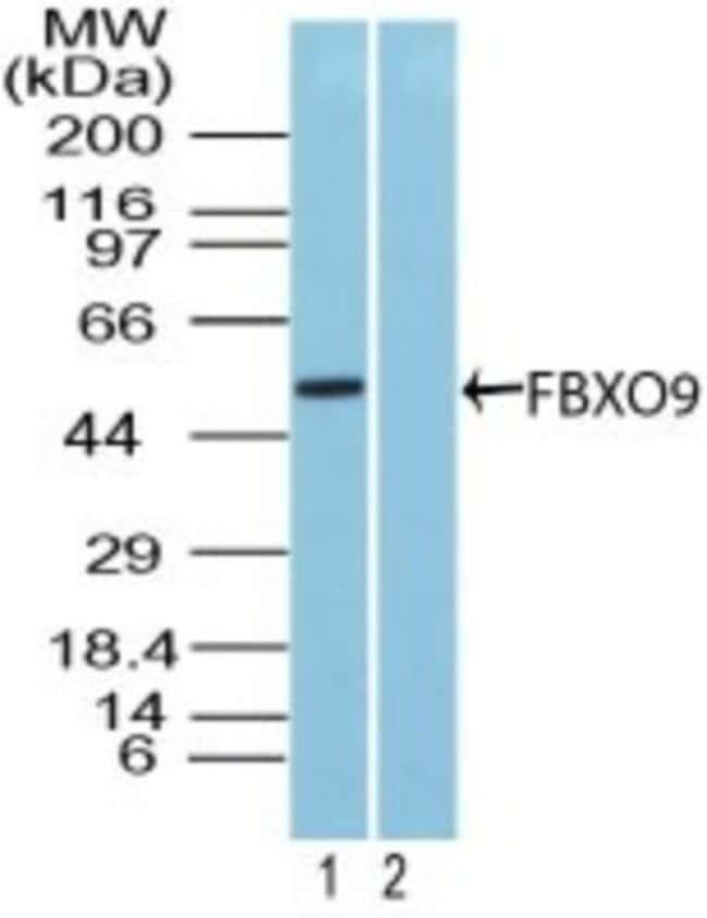 anti-FBX09, Polyclonal, Novus Biologicals:Antibodies:Primary Antibodies
